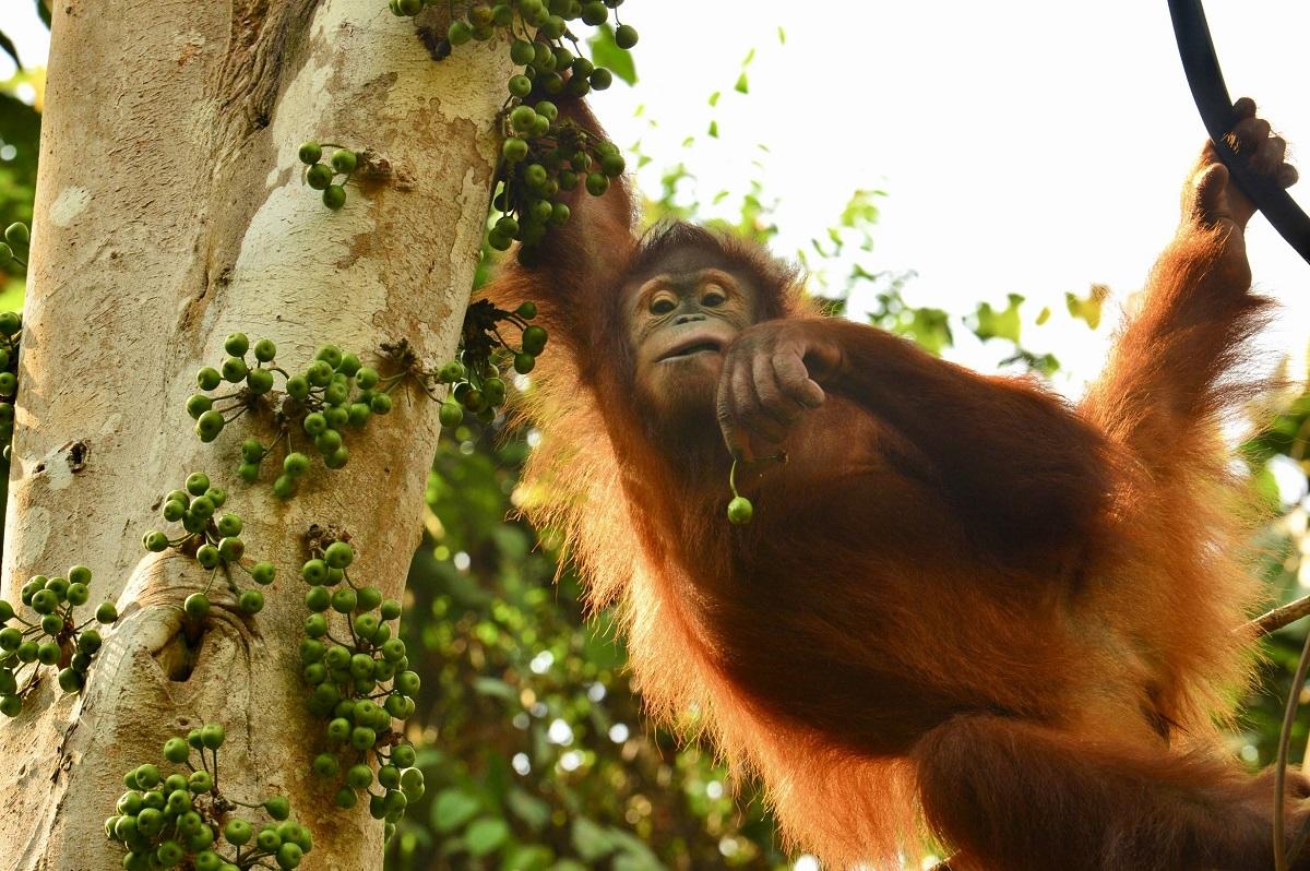 The Orangutan Project - Cece