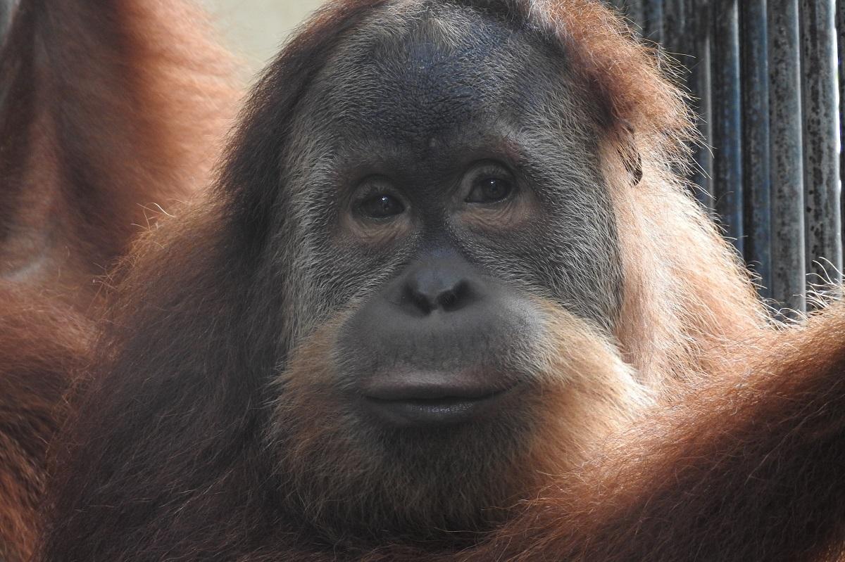 The Orangutan Project - Gokong